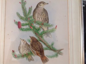 John Gould, Birds of Britain, Hand Coloured Lithograph, 1860's